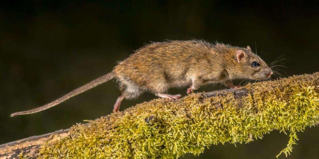 Rottien Hävittäminen